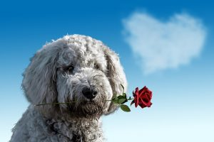 valentines day dog with rose